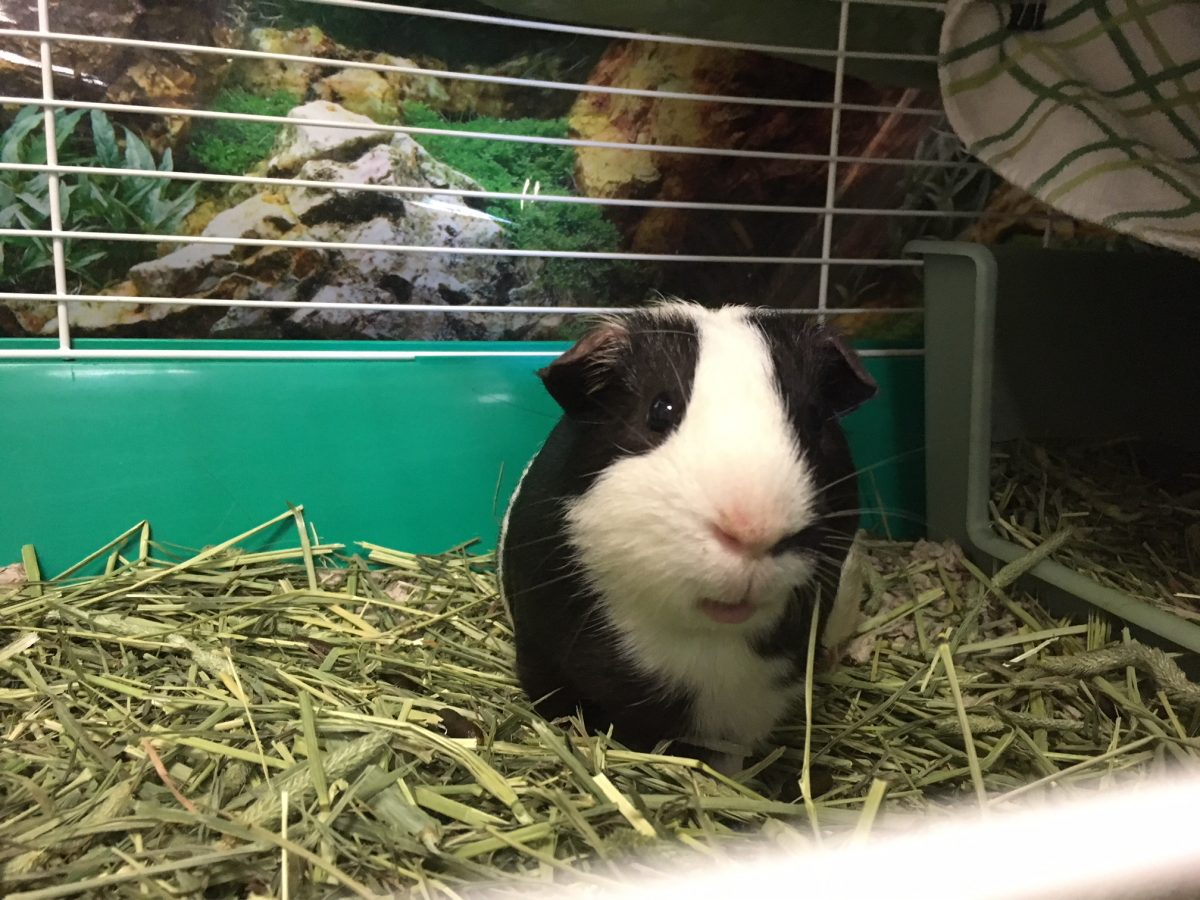 Tommy The Guinea Pig is An Emotional Support Animal